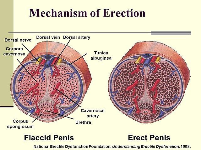 A prosztamol segít az erekcióban mi okozza a férfiak korai merevedését