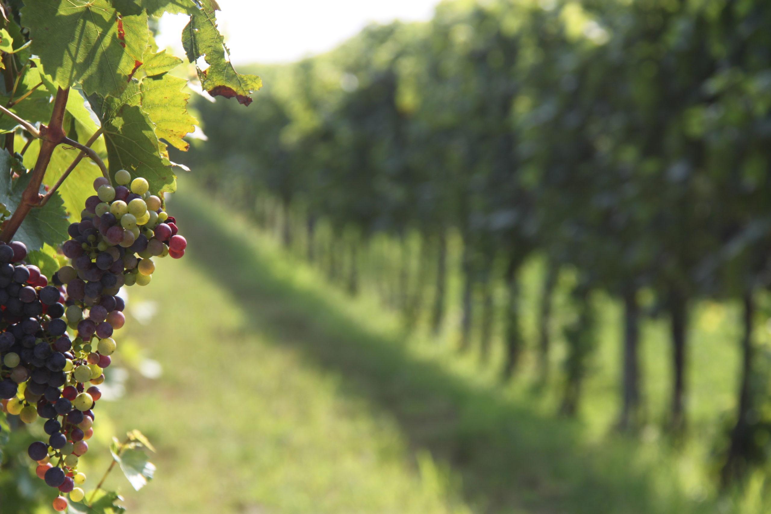 hogy a szőlő hogyan befolyásolja az erekciót