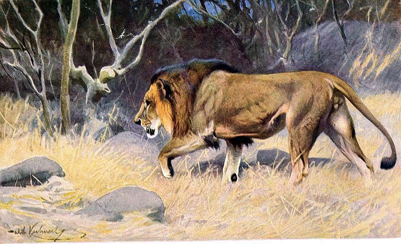 tövis az oroszlán péniszén