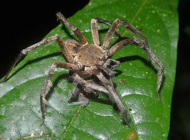 brazil pók és merevedés