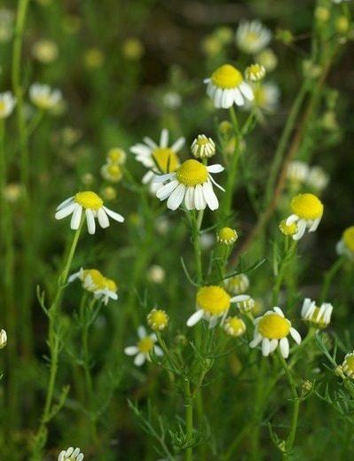 Kamilla: a legismertebb gyógynövény hatásai