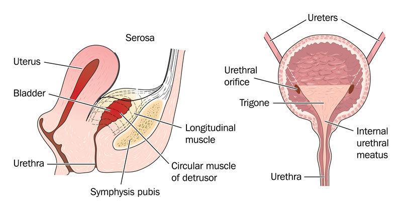 hogyan lehet növelni az erekciót gyógyszerek nélkül női fórum pénisz mérete