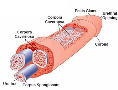 érinti-e az inguinalis sérv az erekciót miért puha pénisz a férfiaknál