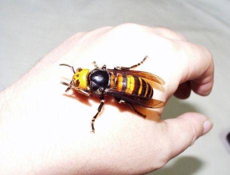 a pénisz megnagyobbodása a méhek által