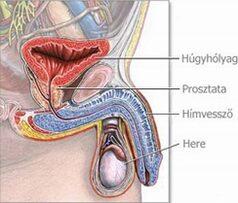 férfi nemi szervek az erekció során megragadta a pénisz