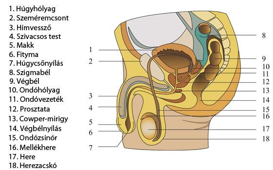 egy ölelésből egy fickóból merevedés milyen betegségek alatt tűnik el az erekció
