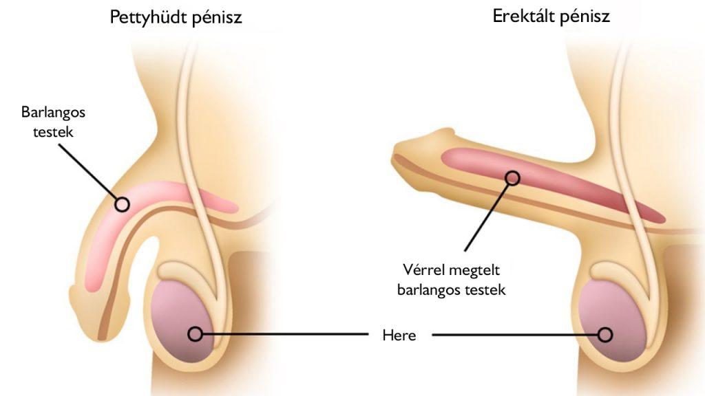 fekvő kis pénisz