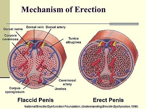 vér a péniszből az erekció során