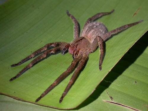 Brazil vándor pók pufók eltűnhet-e egy merevedés