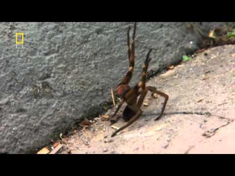 Brazil vándor pók pufók merevedési görcsök férfiaknál