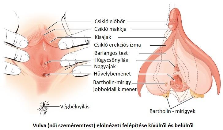 Íme, így működik a klitorisz